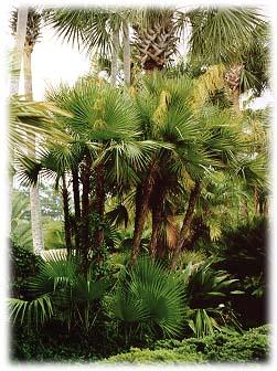 Acoelorrhaphe Wrightii The Everglades Or Paurotis Palm A